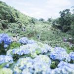 白天都可以賞「煙花」陽明山繡球花 園