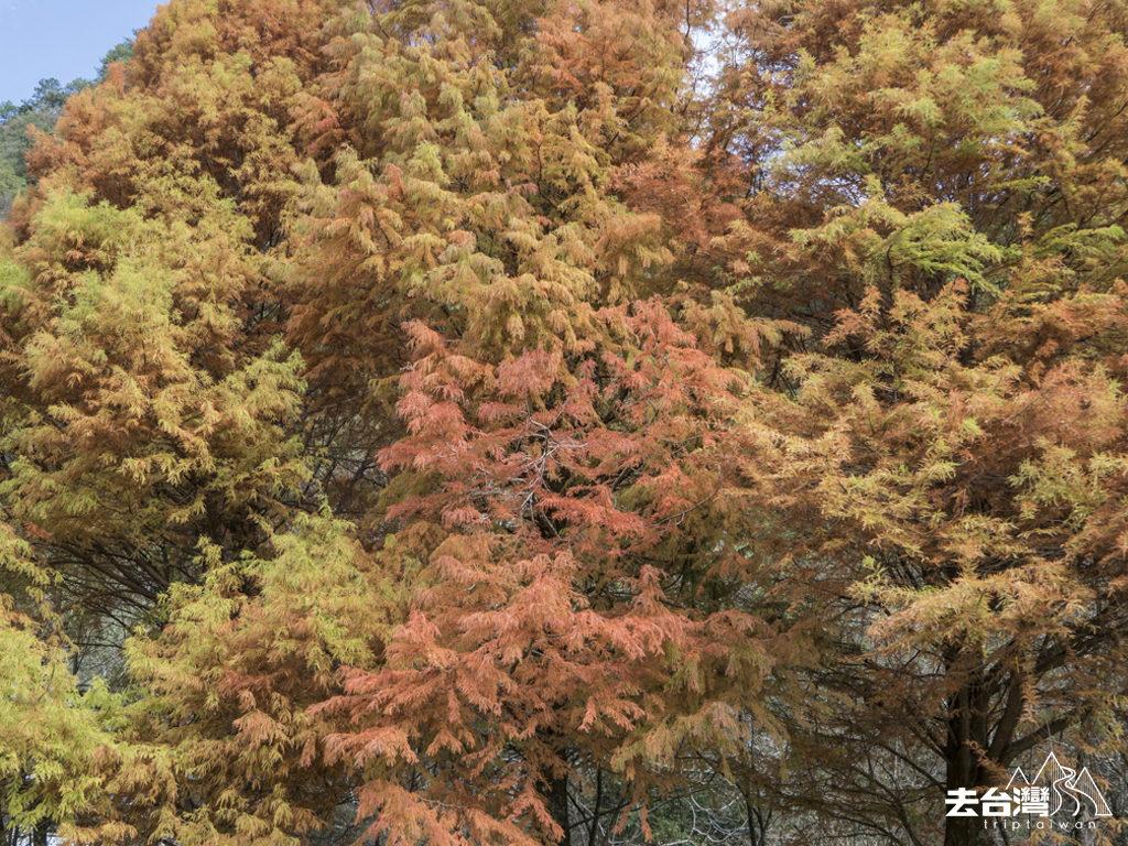 奧萬大 台灣紅葉